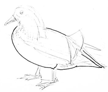 Mandarin duck body drawing