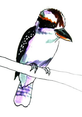 Kingfisher- Kookaburra colored drawing