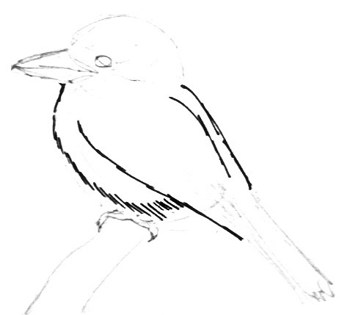 Kingfisher- Kookaburra step by step drawing tutorial