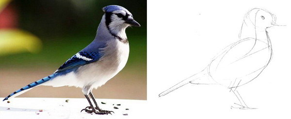 Blue jay drawing lesson