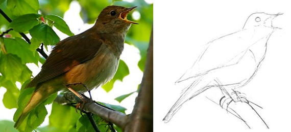 How to draw a Nightingale -2
