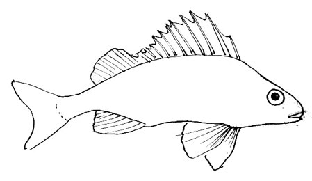 Ruff dorsal fin drawing