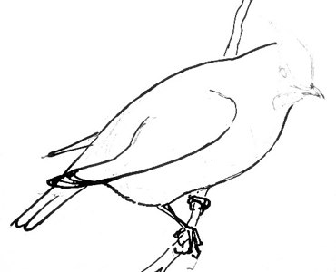 Waxwing drawing step by step