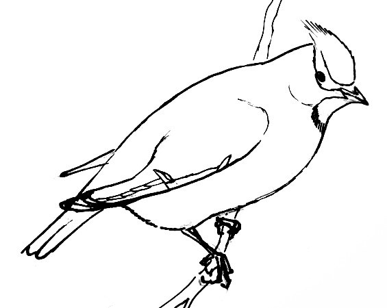 Waxwing  line drawing
