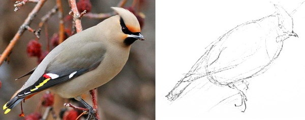 How to draw a waxwing step by step