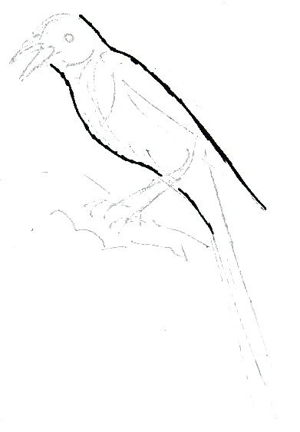 Magpie body drawing