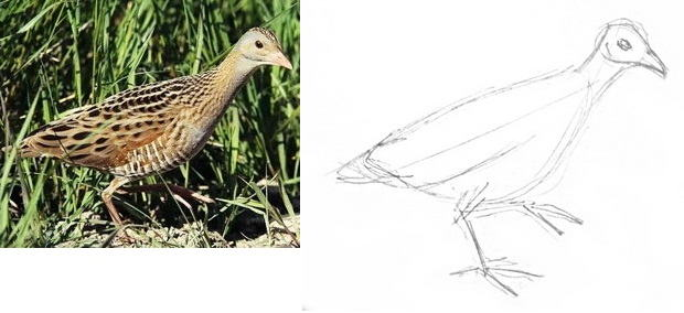 Corncrake drawing tutorial