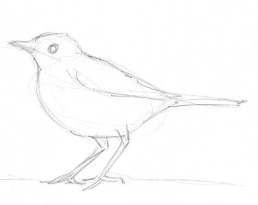 Thrush pencil drawing