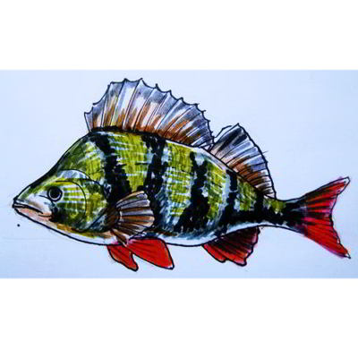 Perch colored drawing