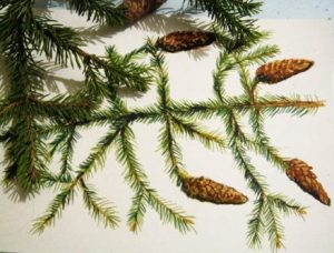 Fir tree branch drawing