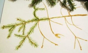 How to draw a fir tree lesson