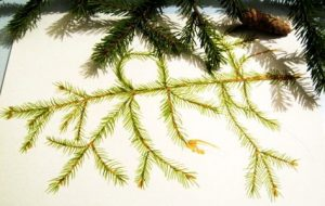 Step by step lesson how to draw a fir tree