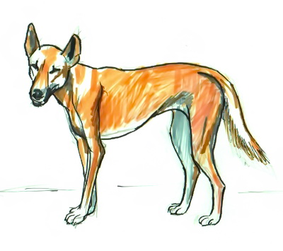 Dingo  colored  drawing